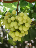 Grapes in San Joaquin Valley, California, United States of America, North America Photographic Print by Yadid Levy