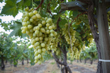 Grape at a Vineyard in San Joaquin Valley, California, United States of America, North America Photographic Print by Yadid Levy