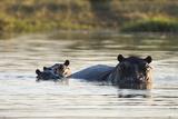 Hippopotamus (Hippopotamus Amphibius), Khwai Concession, Okavango Delta, Botswana, Africa Fotografisk tryk af Sergio Pitamitz