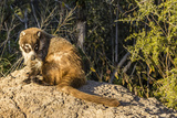 Adult Captive Coatimundi (Nasua Nasua) at the Arizona Sonora Desert Museum, Tucson, Arizona, Usa Lámina fotográfica por Michael Nolan