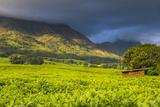 Tea Estate on Mount Mulanje, Malawi, Africa Fotografisk tryk af Michael Runkel