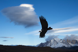 Andean Condor (Vultur Gryphus) Flying over Torres Del Paine National Park, Chilean Patagonia, Chile Reproduction photographique par G & M Therin-Weise