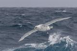 A Rare White Morph of the Southern Giant Petrel (Macronectes Giganteus), English Strait, Antarctica Fotografisk tryk af Michael Nolan