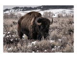 Aged Bison in Teton Nat. Park Plakat