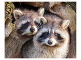 Adult Raccoon Nest Closeup Plakater