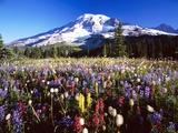 Wildflower Meadow and Mount Rainier Metalltrykk av Craig Tuttle