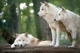 Arctic Wolves Poster av  Lantern Press