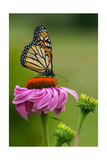 Monarch Butterfly and Flower Poster by  Lantern Press