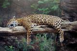 Cheetah Sleeping in Tree Plakat av  Lantern Press
