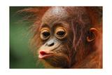 Baby Chimpanzee Kissing Láminas por  Lantern Press