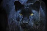 Schwarzer Panther Kunstdruck von  Lantern Press