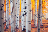 Aspen Forest Prints by  Lantern Press