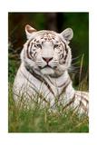 White Tiger in Grass Plakat av  Lantern Press
