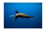 Seal Swimming Stampe di  Lantern Press