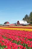 Tulip Field and Barn Prints by  Lantern Press