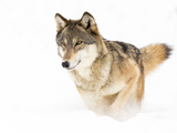 Timber Wolf Fotoprint van  Seabug