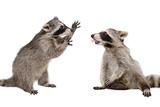 Two Funny Raccoon Playing Together Fotografisk trykk av  Sonsedskaya
