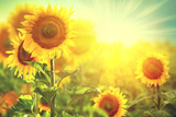 Sunflower Field. Beautiful Sunflowers Blooming on the Field. Growing Yellow Flowers Fotografie-Druck von Subbotina Anna