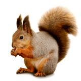 Eurasian Red Squirrel in Front of A White Background Fotografisk tryk af  nelik