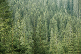 Green Coniferous Forest with Old Spruce, Fir and Pine Trees Lámina fotográfica por  zlikovec