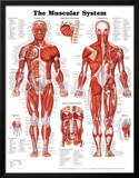 The Muscular System Anatomical Chart Poster Print Pôsters