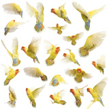 Composition of Rosy-Faced Lovebird Flying, Agapornis Roseicollis, also known as the Peach-Faced Lov Stampa fotografica di Life on White