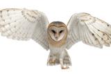 Barn Owl, Tyto Alba, 4 Months Old, Portrait Flying against White Background Lámina fotográfica por Life on White