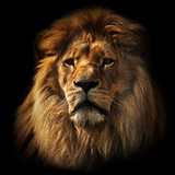 Lion Portrait on Black Background. Big Adult Lion with Rich Mane. Reproduction photographique par Michal Bednarek