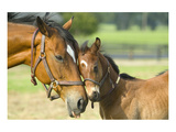 Loving Mare and Foal Poster
