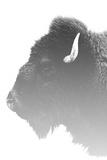 The Majestic American Bison Impressão fotográfica
