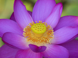 Lotus Bloom in the Summer, North Carolina, Usa Kunst op metaal van Joanne Wells
