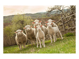 Sheep and Lambs on Pasture Print
