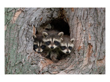 Raccoons Cubs in a Tree Hole Prints