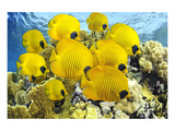 School of Colorful Reef Fishes Posters