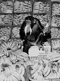 A Chimpanzee in Paradise Fotografie-Druck von  Staff