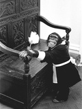 A Chimpanzee brushing up on the housework Photographic Print by  Staff