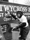 Twycross Zoo Chimpanzee cleaning Lámina fotográfica por  Staff