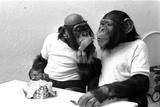 Two Chimpanzees celebrating Easter Lámina fotográfica por  Staff