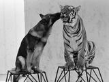 Ravi the Bengal Tiger and Duke the Alsatian Dog 1977 Fotografisk tryk af Kent Gavin