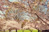 Blossom Beauty II Reproduction photographique par Kathy Mansfield