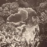 Sepia Barrier Reef Coral III Fotografie-Druck von Kathy Mansfield
