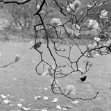 Kew Gardens, Greater London. a Robin Perched on a Twig of a Magnolia in Bloom at Kew Gardens Reproduction photographique par John Gay