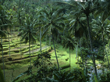 Bali. Terraced Rice Fields with Palm Trees Photographic Print by Werner Forman