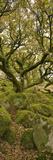 Dartmoor, Wistmans Wood, Stunted Oak Trees, Vert Pano Fotografie-Druck von David Clapp
