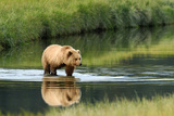 Brown Bear in lake in Alaska Fotografie-Druck von John Rollins