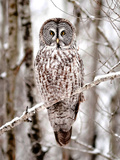 Great Grey Owl in Minnesota Fotografisk trykk av Analiese Miller