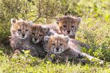 Wild cats Cheetah cubs in Tanzania Fotografie-Druck von Dr. Hermann Brehm