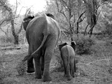 Elephant calf and mother in South Africa Fotografisk tryk af Nancy Andreotta