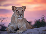 Wild cat lionessa at sunset in South Africa Lámina fotográfica por Beth Stewart