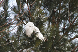 Snowy Owl in tree in Michigan Fotografisk tryk af Teresa McGill